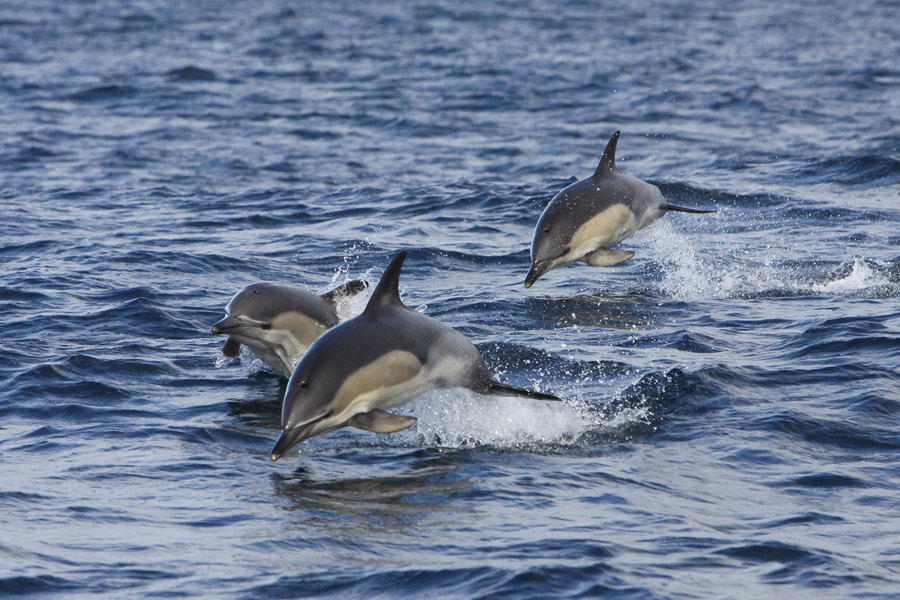 A pod of Common Dolphins