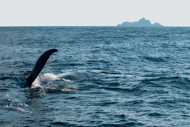 A Humpback Whale off the Skellig Coast