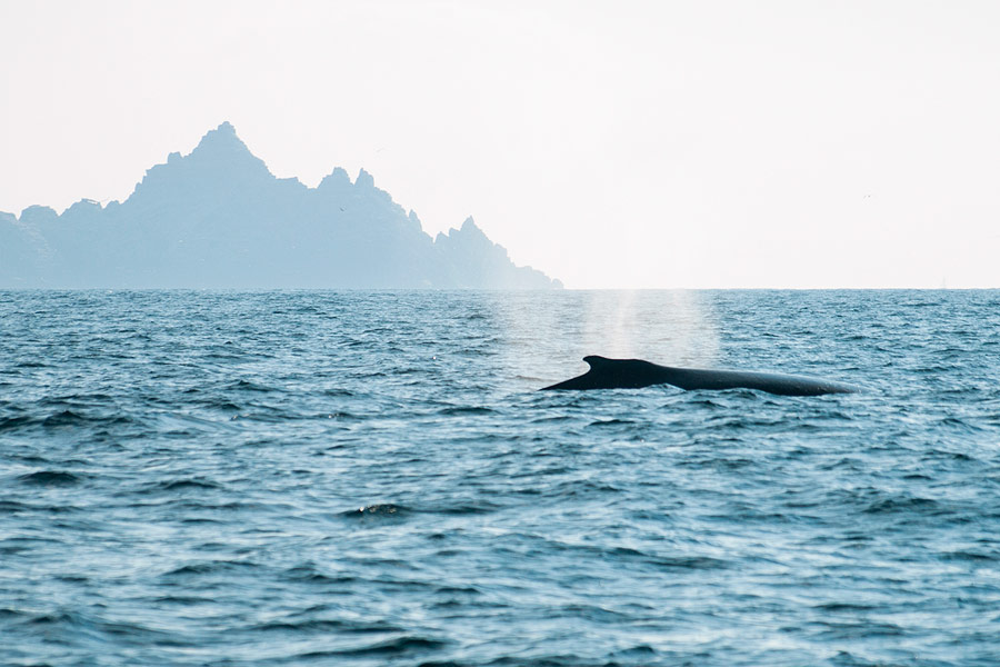 A Humpback Whale with Little Skellig in the background