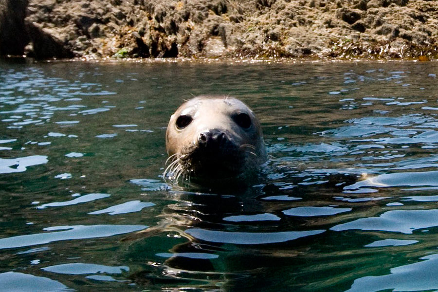 seal off the kerry coast