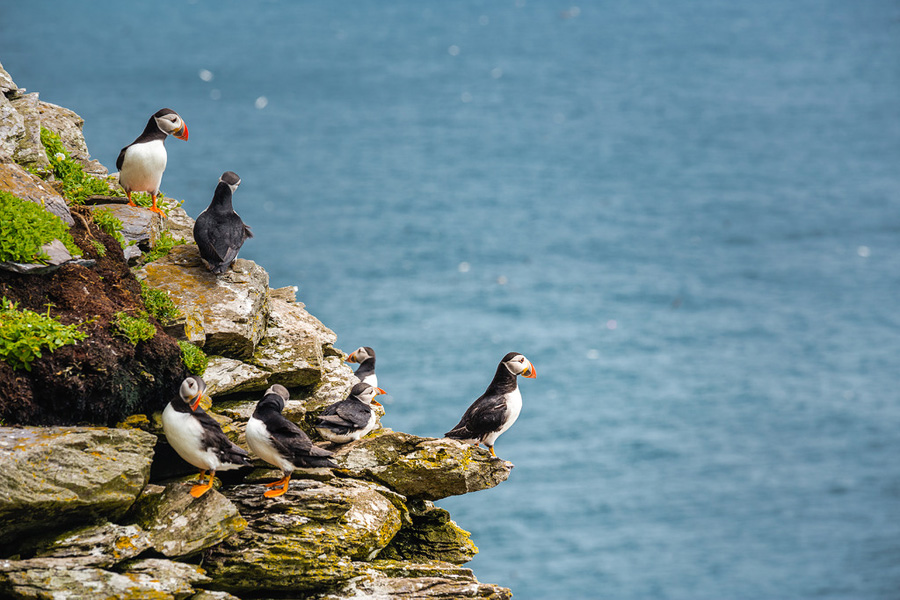 Puffins on Skellig Micheal
